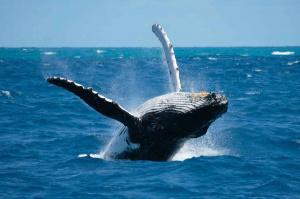La pêche à la baleine !